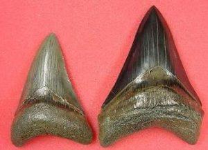 megalodon lower teeth