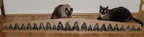 row of megalodon teeth