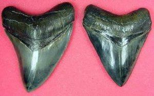 upper megalodon teeth